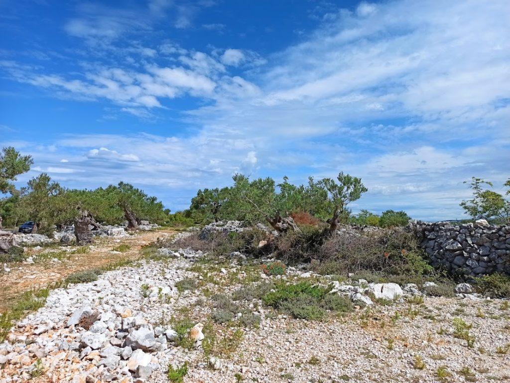 Pag; Lunin oliivipuut